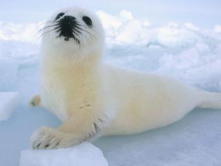 обои Маленький тюлень фото