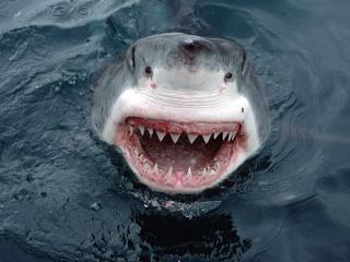 обои Ужасная улыбка акулы фото