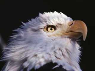обои Глаз орла фото