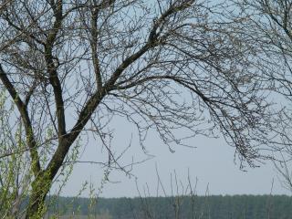 обои Весеннее дерево фото