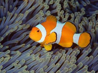 обои Рыбка и коралы фото