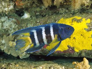 обои Полосатая рыба фото