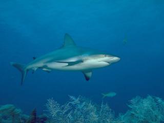 обои Акула в синей глубине океана фото