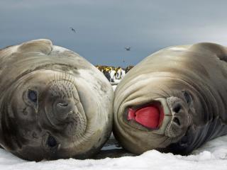 обои Два морских льва фото