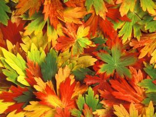 обои Листья осенью фото