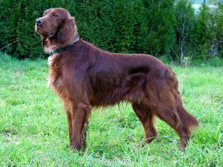 обои Красивый пёс на траве фото