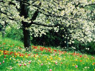 обои Весенняя лужайка под цветущим деревом фото