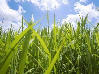 обои Зеленая высокая трава фото