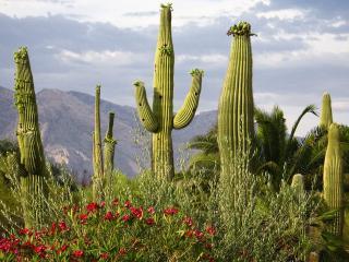 обои для рабочего стола: Мексиканский кактус
