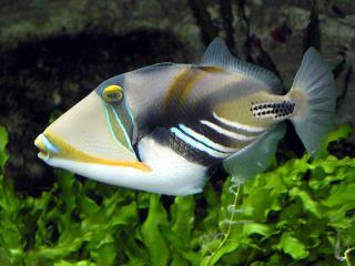 обои Рыбка Пикассо фото