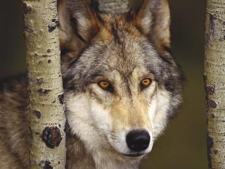 обои Фотография волка фото