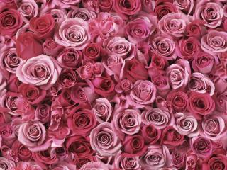 обои Миллион алых роз фото