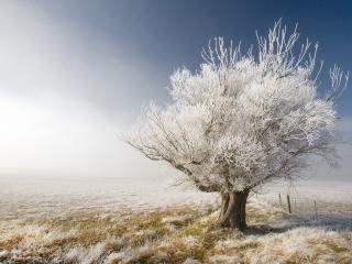 обои Белое дерево в поле фото