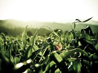 обои Кукуруза крупным планом фото