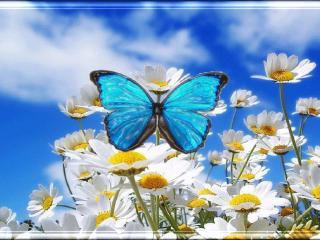 обои для рабочего стола: Бабочка на ромашках