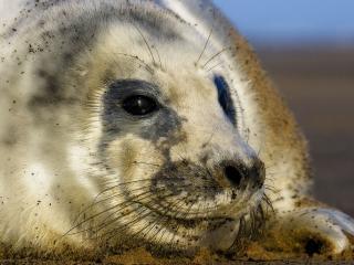 обои Тюлень с черными глазами фото