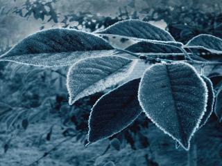 обои Голубые листья фото