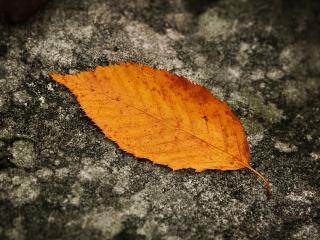обои Оранжевый опавший листок фото
