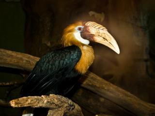 обои для рабочего стола: Пеликан на ветке
