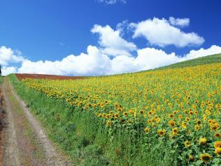 обои Дорога вдоль поля с подсолнухами фото