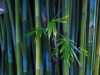 обои Листья в стеблях бамбука фото