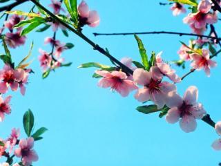 обои Розовые цветы и голубое небо фото