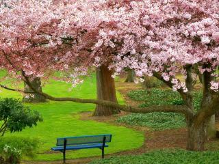 обои Скамейка в парке цветущих деревьев фото