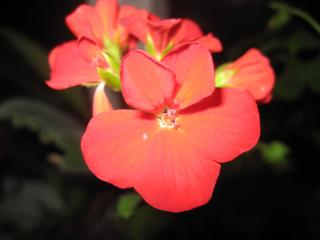 обои Красный цветочек в саду фото