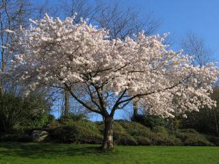 обои Цветущая весенняя яблоня на лугу фото