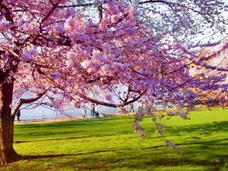 обои Розовое весеннее дерево, на зеленой лужайке фото