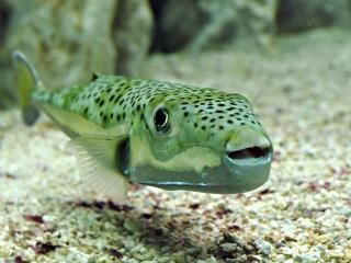 обои Пятнистая рыба с открытым ртом фото