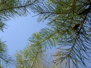 обои Ветви ели под небом фото