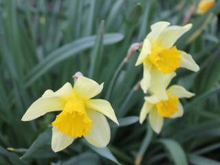 обои Нарциссы в саду фото
