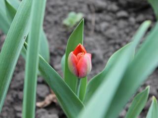 обои Распускающийся алый тюльпан фото