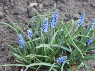 обои Синие мелкие цветы фото