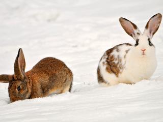 обои Зимняя прогулка кроликов фото