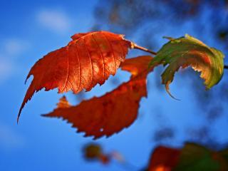 обои Красные осенние листья фото