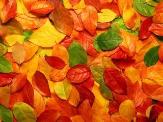 обои Разноцветье осенней листвы фото
