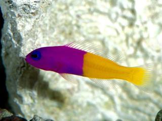 обои Фиолетово-жолтая рыбка фото