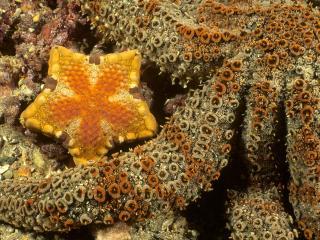 обои Красивая жолтая морская звезда фото