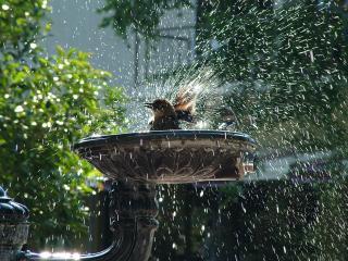 обои для рабочего стола: Птичка купается в фонтане