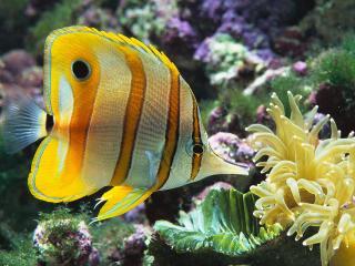 обои Жёлтая полосатая рыбка фото