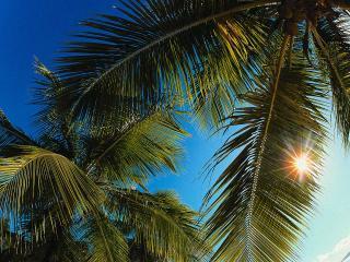 обои Солнце за листьями пальм фото