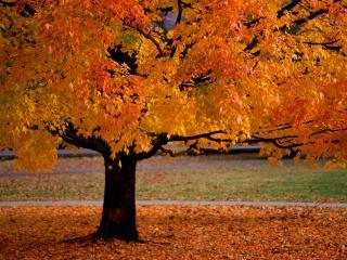 обои Яркое осеннее дерево фото