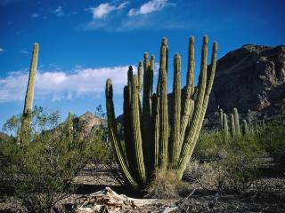 обои Большие кактусы у холма фото