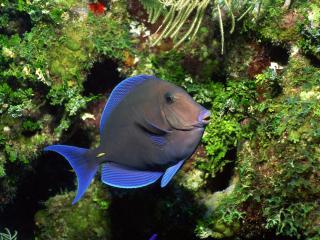 обои Харизматичная голубая рыбка фото
