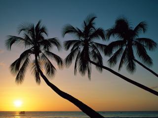 обои Три пальмы тянутся к закату фото