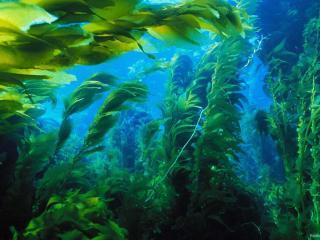 обои Лес из водорослей фото