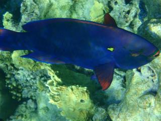 обои Полностью синяя рыба фото