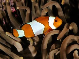обои Бело-оранжевая полосатая рыба фото